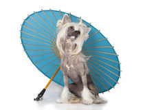 Chinese crested dog. Under the Chinese umbrella on a white background royalty free stock photography