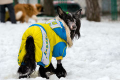 Chinese crested dog uniformed. The Chinese crested dog uniformed in the snow stock photography