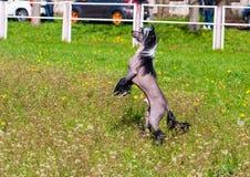 Chinese crested dog upright. Royalty Free Stock Image