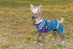 Chinese crested dog waits. Stock Image