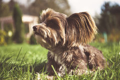 Chinese crested dog on a walk. Stock Photo