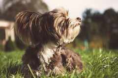 Chinese crested dog on a walk. Royalty Free Stock Photos