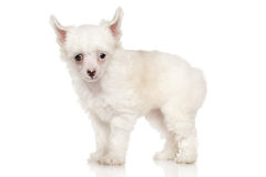 Chinese crested dog 4 weeks old Royalty Free Stock Photo