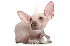 Chinese Crested dog on a white background Royalty Free Stock Photos