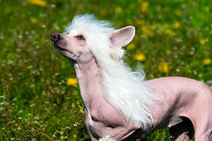 Chinese crested dog white. The Chinese crested dog walks on the grass of the park stock photo
