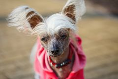 Chinese crested doggy. On a walk in the Park Stock Images