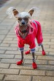 Chinese crested doggy. On a walk in the Park Stock Photography