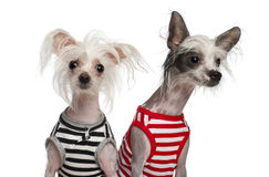 Chinese Crested Dogs, 10 and 18 months old Stock Image