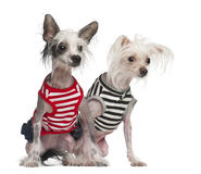 Chinese Crested Dogs, 10 and 18 months old Royalty Free Stock Image