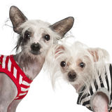 Chinese Crested Dogs, 10 and 18 months old Royalty Free Stock Photos