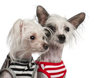 Chinese Crested Dogs, 10 and 18 months old Royalty Free Stock Images