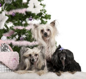Chinese Crested Dogs, 6, 4 and 9 years old Royalty Free Stock Image
