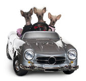 Chinese Crested dogs driving convertible