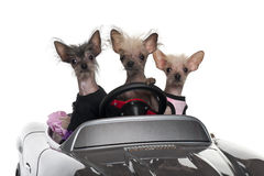 Chinese Crested dogs driving convertible Stock Images