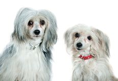 Chinese crested dogs. In front of a white background royalty free stock image