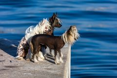 Chinese Crested Dogs. Three Chinese Crested hairless dogs. The Chinese Crested dog breed was created to be an invalid's companion royalty free stock photos