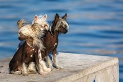 Chinese Crested Dogs. Three Chinese Crested hairless dogs. The Chinese Crested dog breed was created to be an invalid's companion stock images
