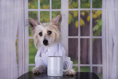 Chinese Crested drinking her morning coffee.  royalty free stock image