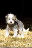 Chinese Crested Hairless breedDog Stock Images