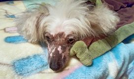 Chinese Crested Hairless dog on blanket Stock Photo