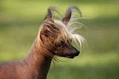Chinese Crested Hairless Dog Portrait Stock Photos