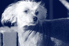Chinese Crested Hairless Female Dog - Gimly Stock Image