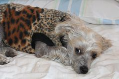 Chinese Crested Hairless Female Dog - Gimly Stock Photo