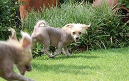Chinese Crested Hairless Female Dog - Gimly Stock Images