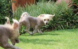 Chinese Crested Hairless Female Dog - Gimly Stock Images