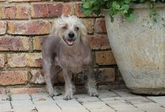 Chinese Crested Hairless Female Dog - Gimly Royalty Free Stock Image