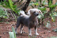 Chinese Crested Hairless Female Dog - Gimly Royalty Free Stock Photos