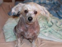Chinese Crested Hairless Female Dog - Gimly Royalty Free Stock Photos