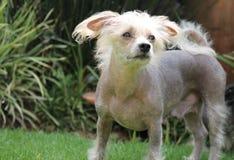 Chinese Crested Hairless Female Dog - Gimly Royalty Free Stock Photo