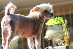 Chinese Crested Hairless Female Dog - Gimly Stock Photography