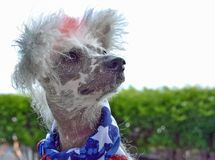 Chinese Crested Hairless with flag scarf. Chinese Crested Hairless dog wearing patriotic flag scarf on a windy day stock photography