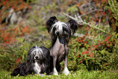 Chinese Crested Hairless and Poderpuff Dogs royalty free stock photo