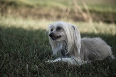 Chinese Crested-Hund stockfoto