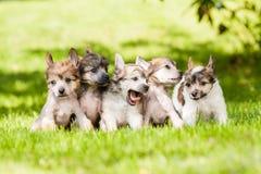 Chinese Crested-Hund Stockbild