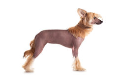 Chinese Crested-Hund Lizenzfreies Stockbild