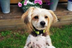 Chinese Crested-Hund Lizenzfreie Stockbilder