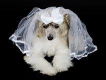 Chinese Crested-Hund Stockbilder