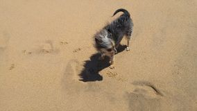 Chinese Crested-Hund auf sandigem Strand stockbilder