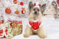 Chinese Crested-Hunde in einem Weihnachtskostüm Stockfotos