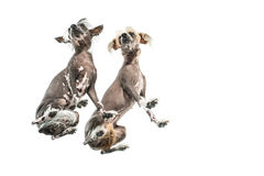 Chinese Crested-Hunde im Studio Lizenzfreies Stockfoto