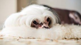 Chinese Crested-Hundelügen Lizenzfreie Stockbilder
