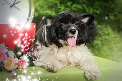 Chinese crested lying in the Park on the background of trees and grass. An adult Chinese crested is lying in the Park in the open air in summer in warm weather stock images