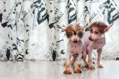 Chinese Crested pappy. Two Little funny Chinese Crested pappy dog posing stock image