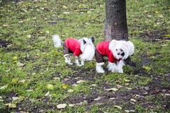 Chinese crested Royalty Free Stock Photo
