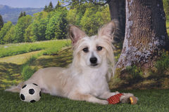 Chinese Crested playing with a ball on the edge of the forest Stock Photos