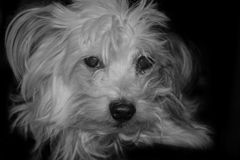 Chinese Crested Powder Puff Stock Images
